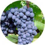 vinho comum bordô