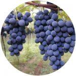 vinho comum brs carmem