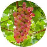 uvas de mesa melodia