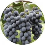 vinho comum brs cora