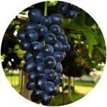 uvas de mesa vitoria