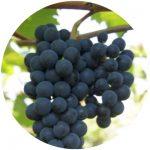 vinho comum brs magna