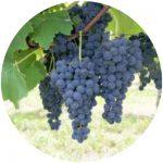 vinho comum violeta