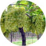 uvas de mesa italia