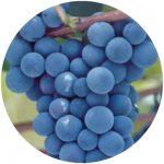 vinho comum concord