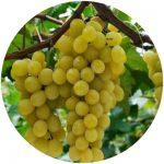 vinho fino moscato giallo