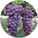 uvas de mesa niagara rosada