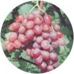 uvas de mesa rubi
