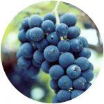 vinho comum isabel precoce
