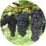 uvas de mesa vênus
