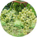 vinho comum lorena