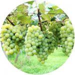 vinho comum niagara branca